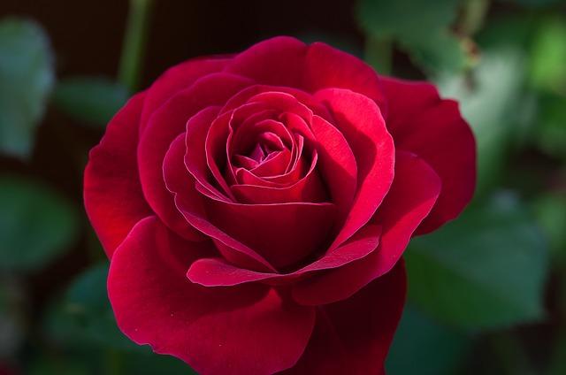 цветок, роуз, красный