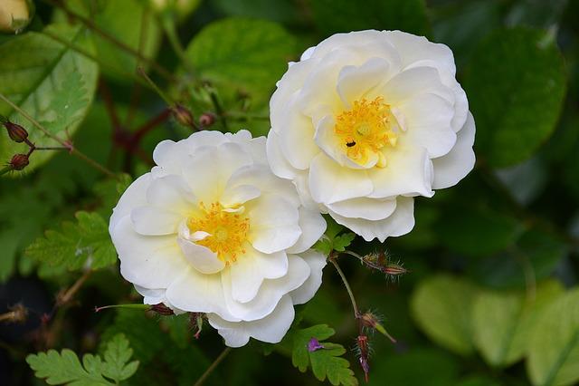 цветы, розы, сад