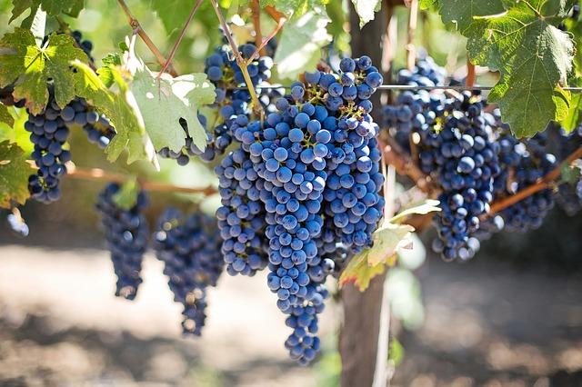 фиолетовый виноград, виноградник, долине напа