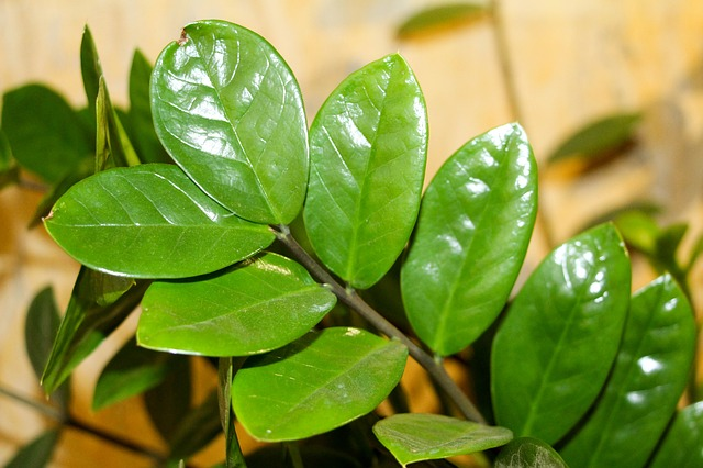 фортуна весна, замиокулькас, комнатное растение