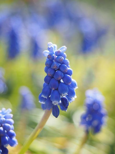 гиацинт, muscari, общие гиацинтов винограда