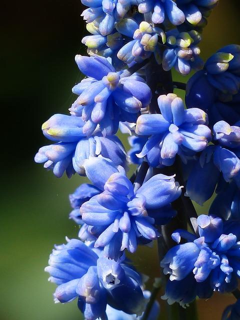 гиацинт, мускари armeniacum, цвести