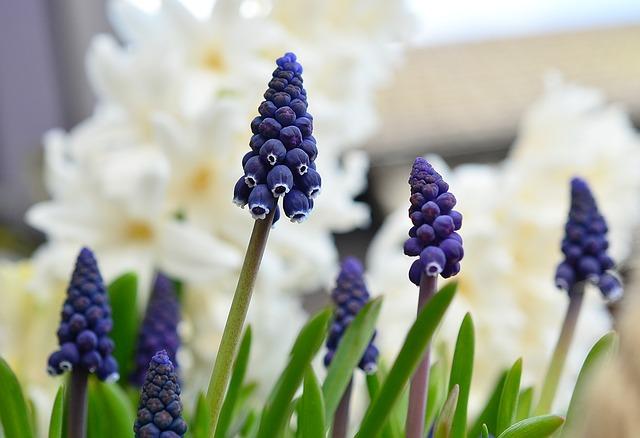 гиацинта винограда, гиацинт, весна