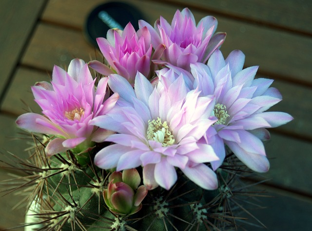 кактус, цветок, завод