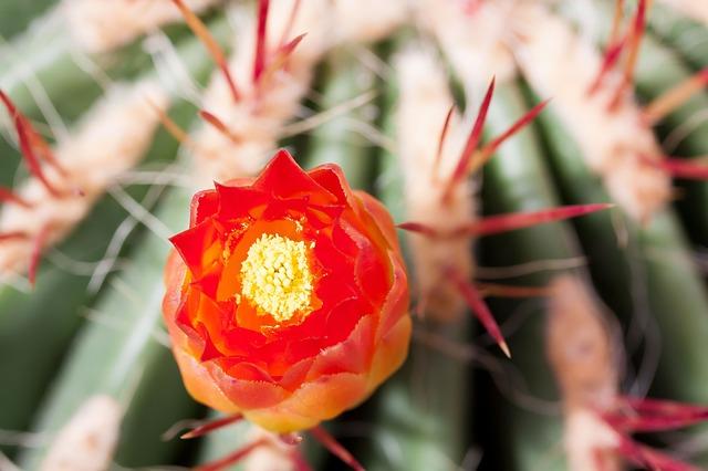 кактус, кактус цвести, цветение
