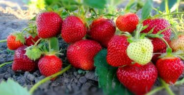 Уход за клубникой после плодоношения