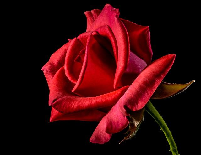 красная роза, роуз, розы цвести