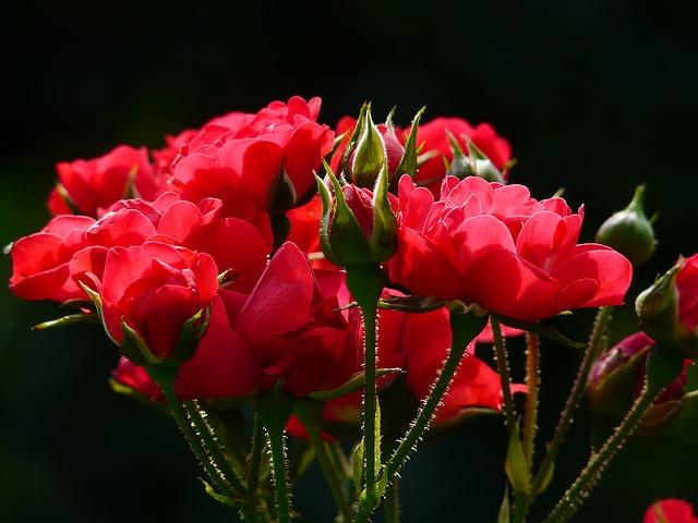 красные розы, роуз, розы