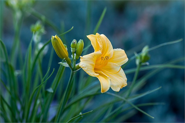 лилейник, желтый, цветок