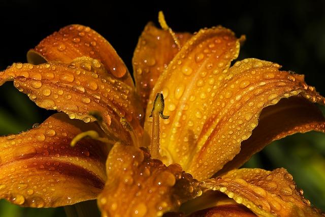 лили, лилейник, цветок