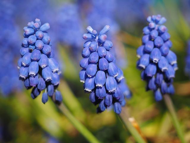 muscari, общие гиацинтов винограда, цвести