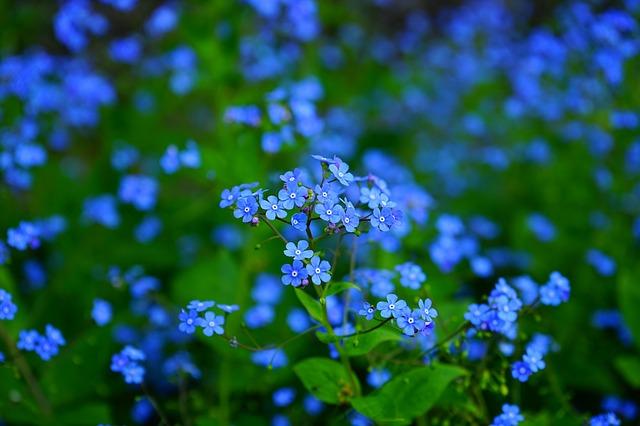 не забывай меня, цветок, brunnera vergissmeinnicht