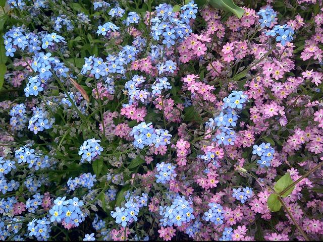 незабудка, цветок, природа