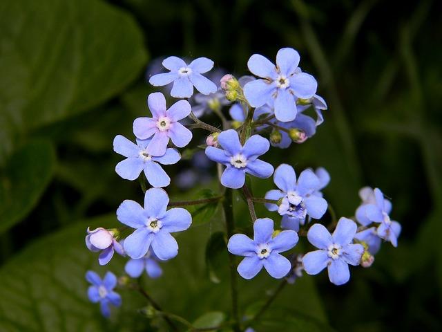 незабудка, цветок, синий цветок