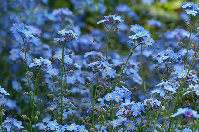 незабудка, цветы, синий