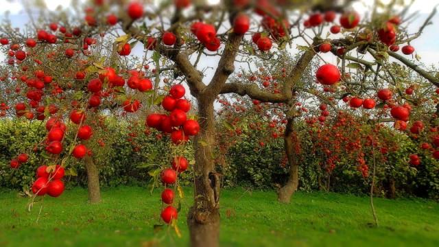 Обрезание плодовых деревьев