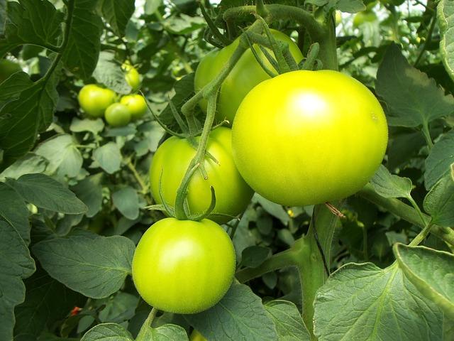 помидоры, грин, растительное