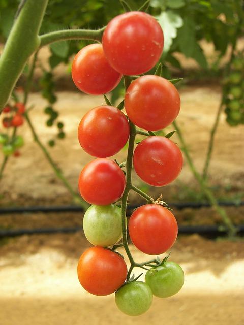помидоры, парниковых, пол производства