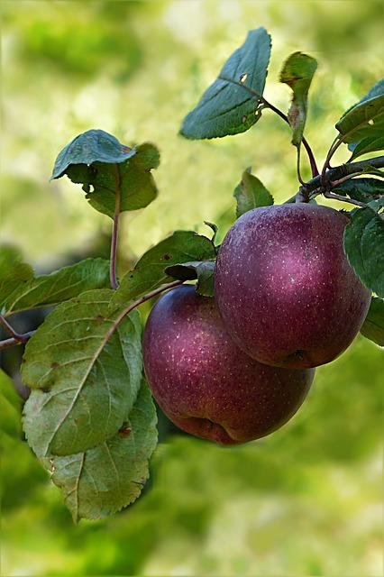 природы, яблоко, красный
