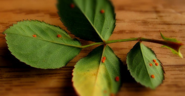Как лечить ржавчину на розах?