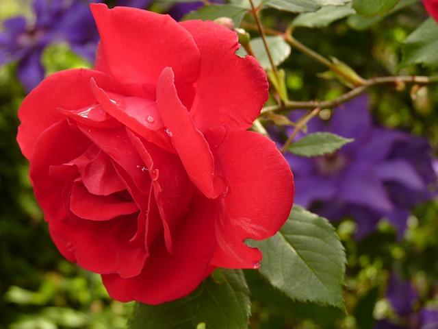 роуз, цвести, красная роза