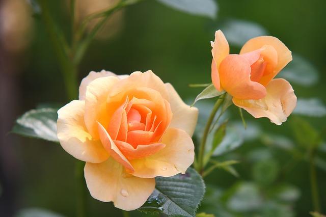 роуз, цветок, цвести