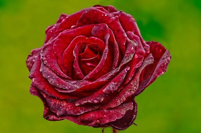 роуз, цветок, красная роза