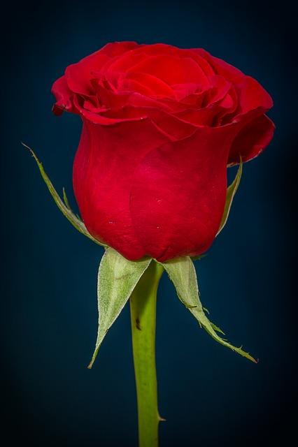 роуз, красная роза, красный