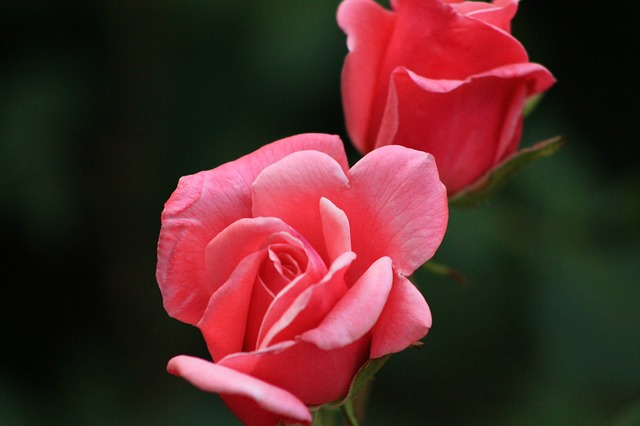 роуз, красная роза, природа