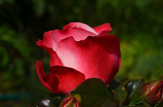 роуз, красный, цветок