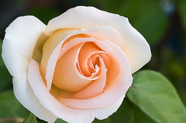 роуз, розовый, цветы