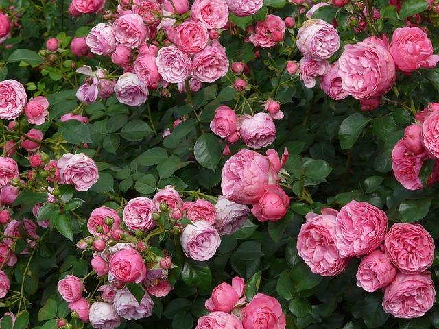 роуз, розовый, розы