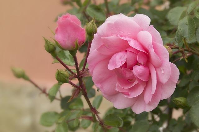 роза, розовый, цветок