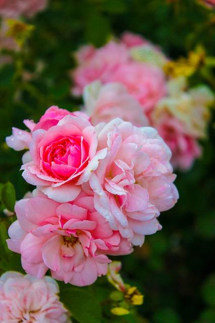 роза, розовый, цветы