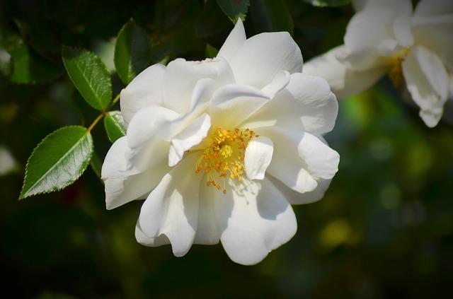 розовый, белая роза, цветы