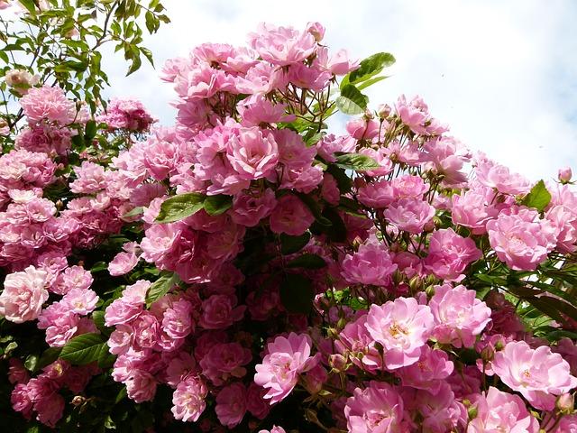 розовый куст, завод, флора