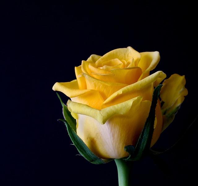 розы цвести, цветы, завод