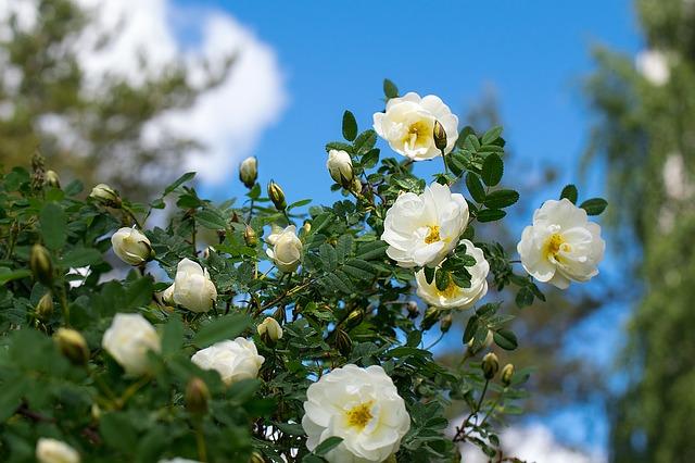 розы, цветок, белый