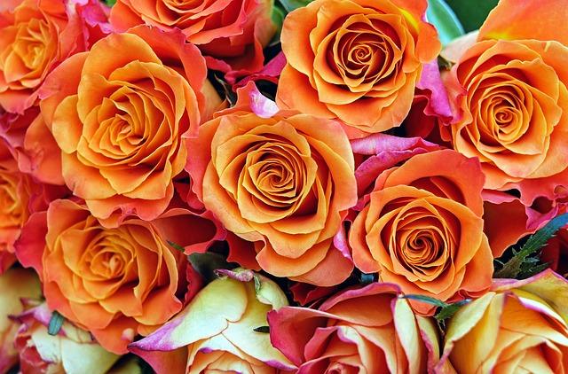 розы, цветы, цвести
