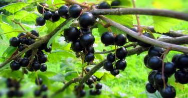 Борьба с вредителями черной смородины без химии