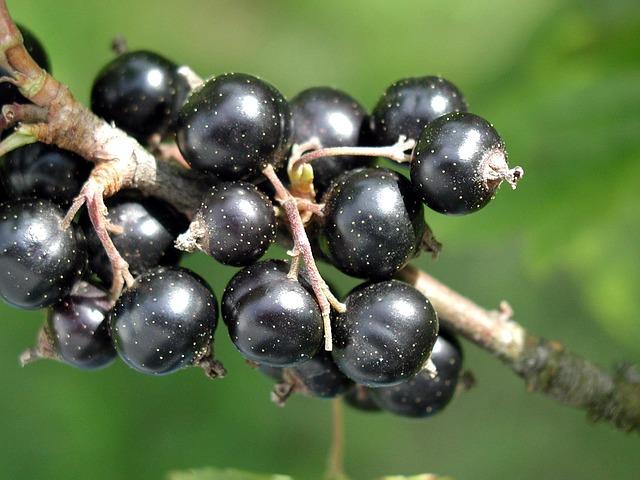 spinarum, карисса, черная смородина