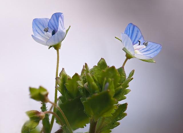 вероника лекарственная, почетная награда, лекарственное растение