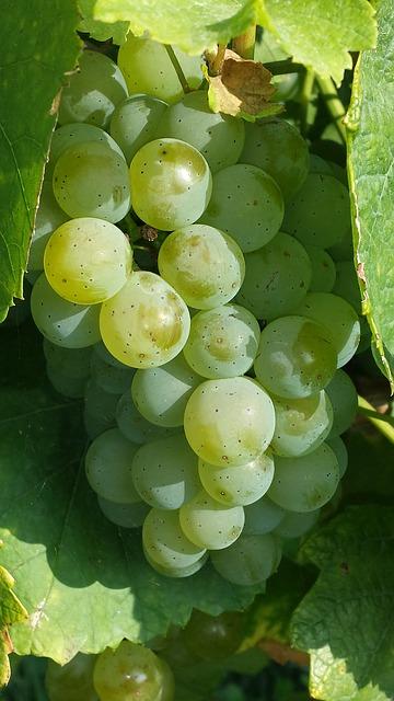 виноград, зеленый, фруктов