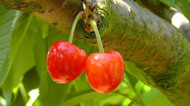 вишня, красный, плоды
