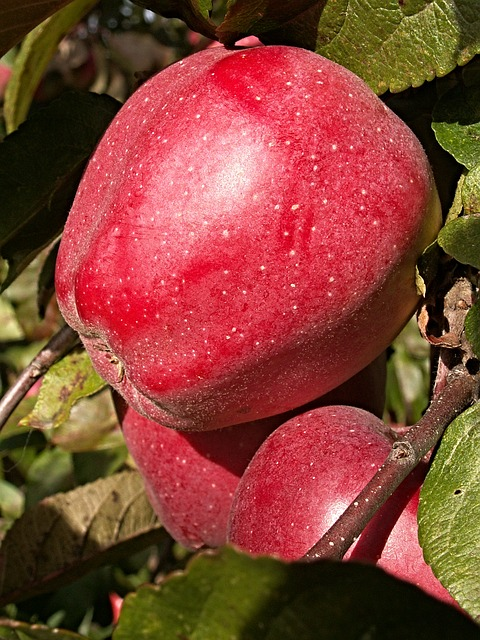 яблоня, дерево, филиал