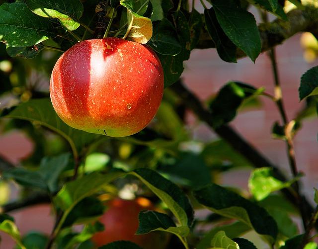 яблоня, отделение, apple