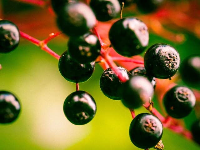 ягод, старший, бузины черной