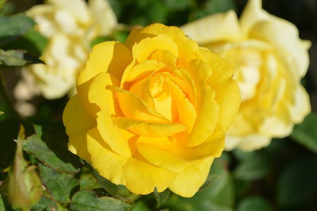 желтая роза, цветок, природа