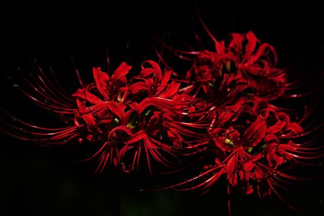 амариллис, amaryllidaceae, паук лили