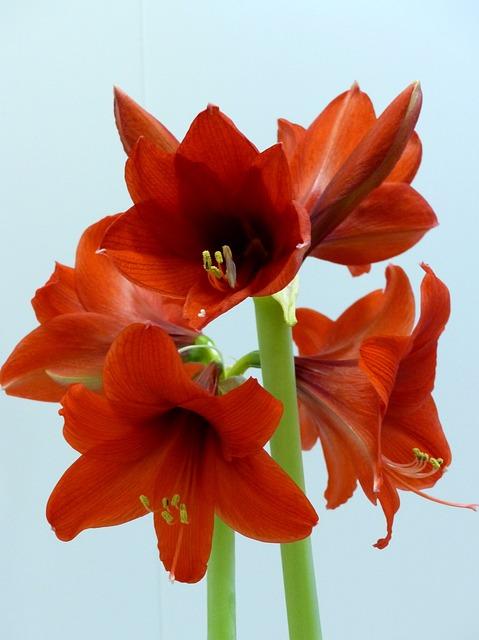 амариллис, цветы, красный